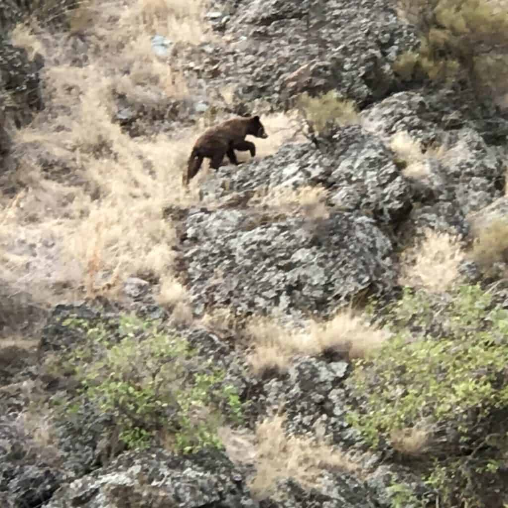 Bear in Hells Canyon