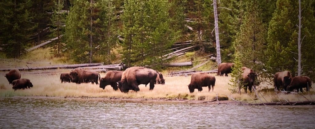 Particularly large buffalo bull with his herd